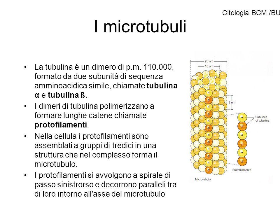 I microtubuli La tubulina è un dimero di p.m. 110.000, formato da due subunità di sequenza amminoacidica simile, chiamate tubulina α e tubulina ß. I d