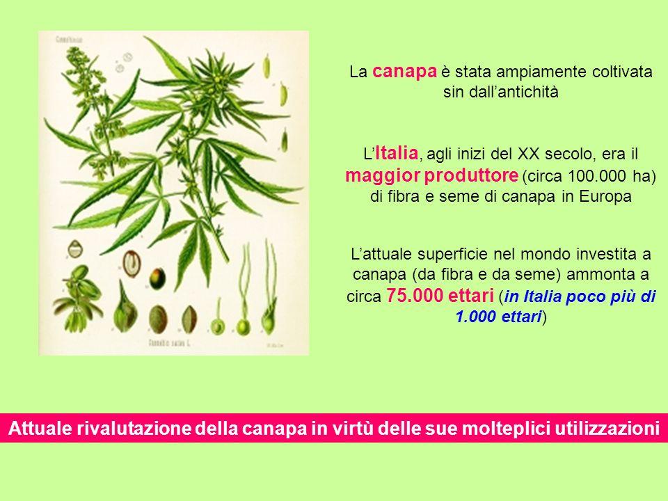 L Italia, agli inizi del XX secolo, era il maggior produttore (circa 100.000 ha) di fibra e seme di canapa in Europa Attuale rivalutazione della canap