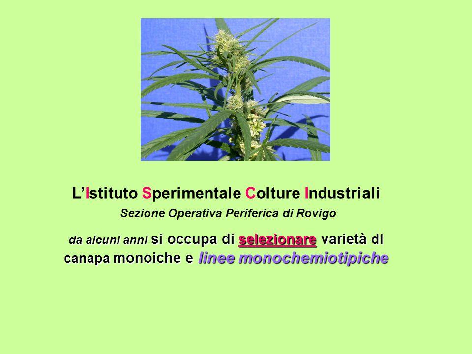 LIstituto Sperimentale Colture Industriali Sezione Operativa Periferica di Rovigo da alcuni anni si occupa di selezionare varietà di canapa monoiche e