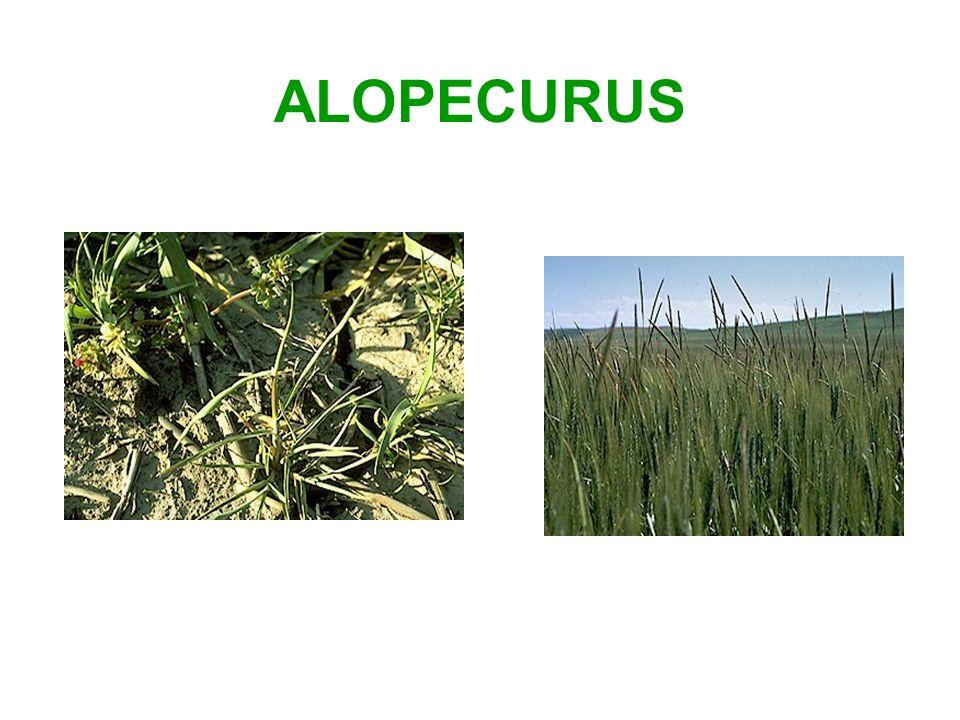 ALOPECURUS