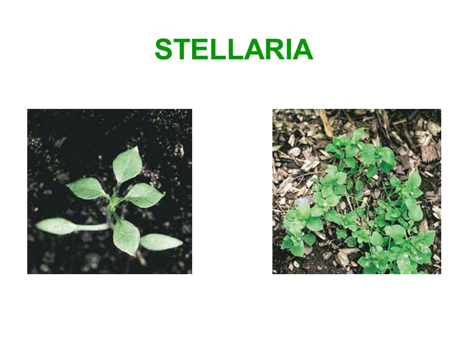 STELLARIA