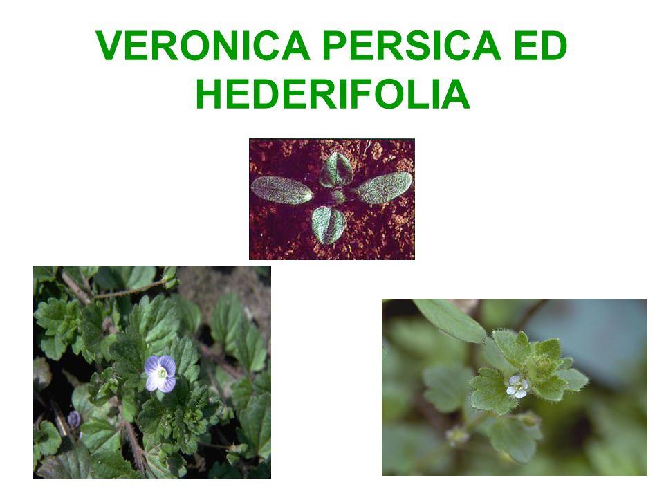 VERONICA PERSICA ED HEDERIFOLIA