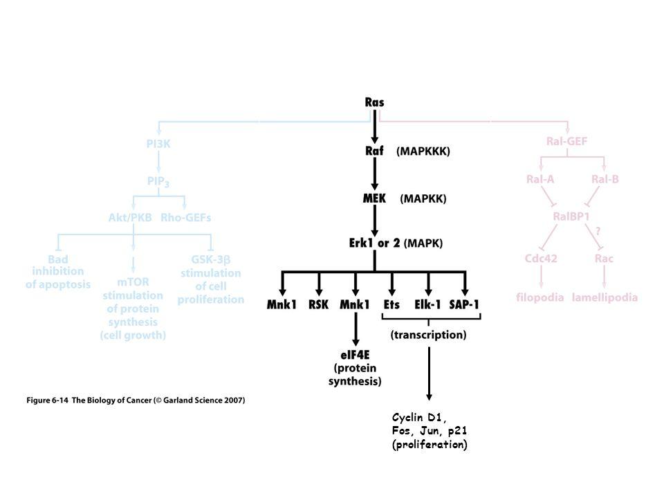 Cyclin D1, Fos, Jun, p21 (proliferation)