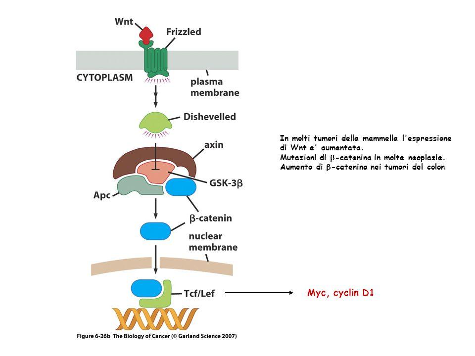 Myc, cyclin D1 In molti tumori della mammella l'espressione di Wnt e' aumentata. Mutazioni di -catenina in molte neoplasie. Aumento di -catenina nei t
