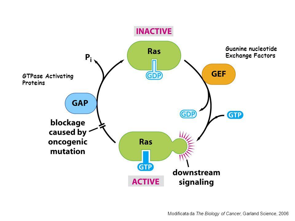 NF B (Nuclear Factor B) (molti e diversi) In molti tumori della mammella la segnalazione da parte di questa via e ininterrotta.