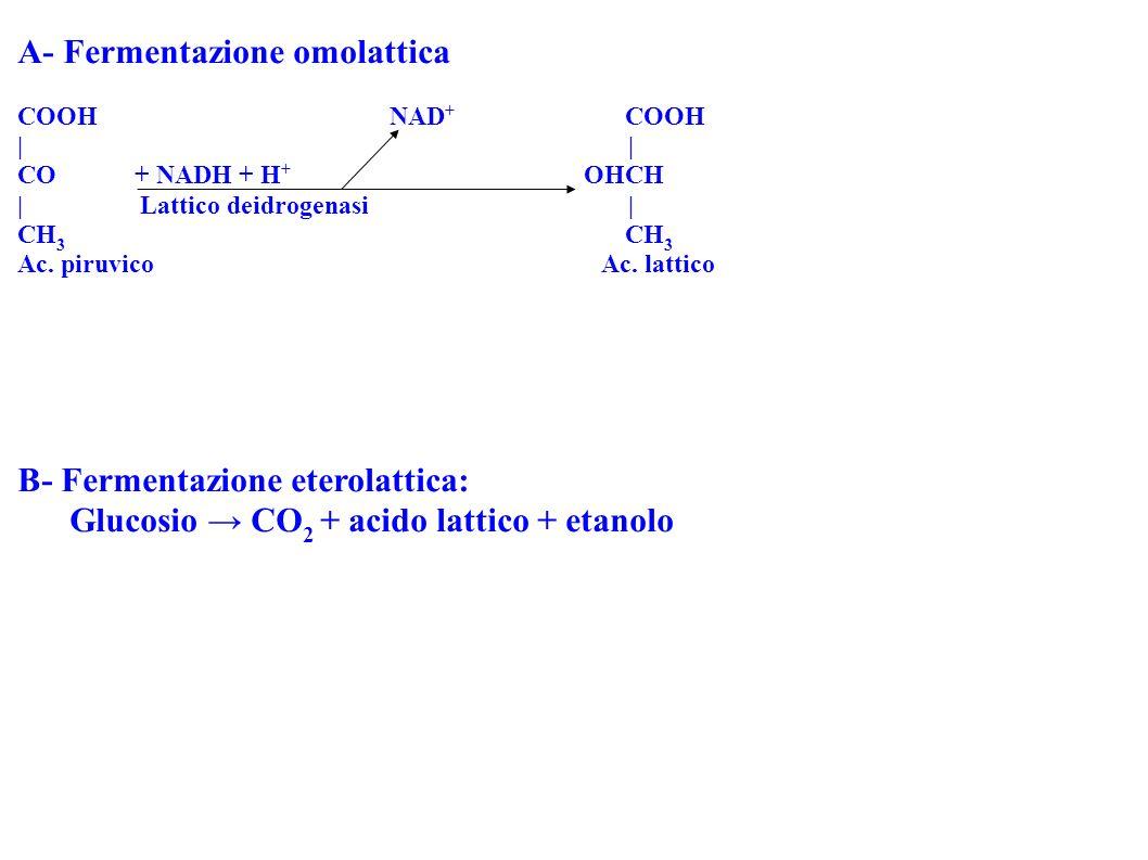 A- Fermentazione omolattica COOH NAD + COOH | CO + NADH + H + OHCH | Lattico deidrogenasi | CH 3 Ac. piruvico Ac. lattico B- Fermentazione eterolattic