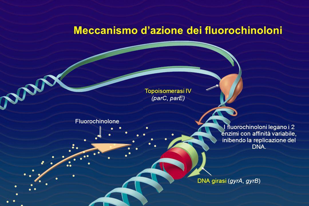 Meccanismo dazione dei fluorochinoloni I fluorochinoloni legano i 2 enzimi con affinità variabile, inibendo la replicazione del DNA. Topoisomerasi IV