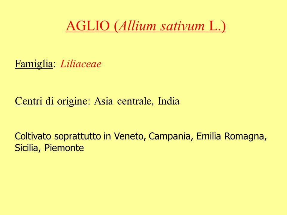 AGLIO (Allium sativum L.) Famiglia: Liliaceae Centri di origine: Asia centrale, India Coltivato soprattutto in Veneto, Campania, Emilia Romagna, Sicil
