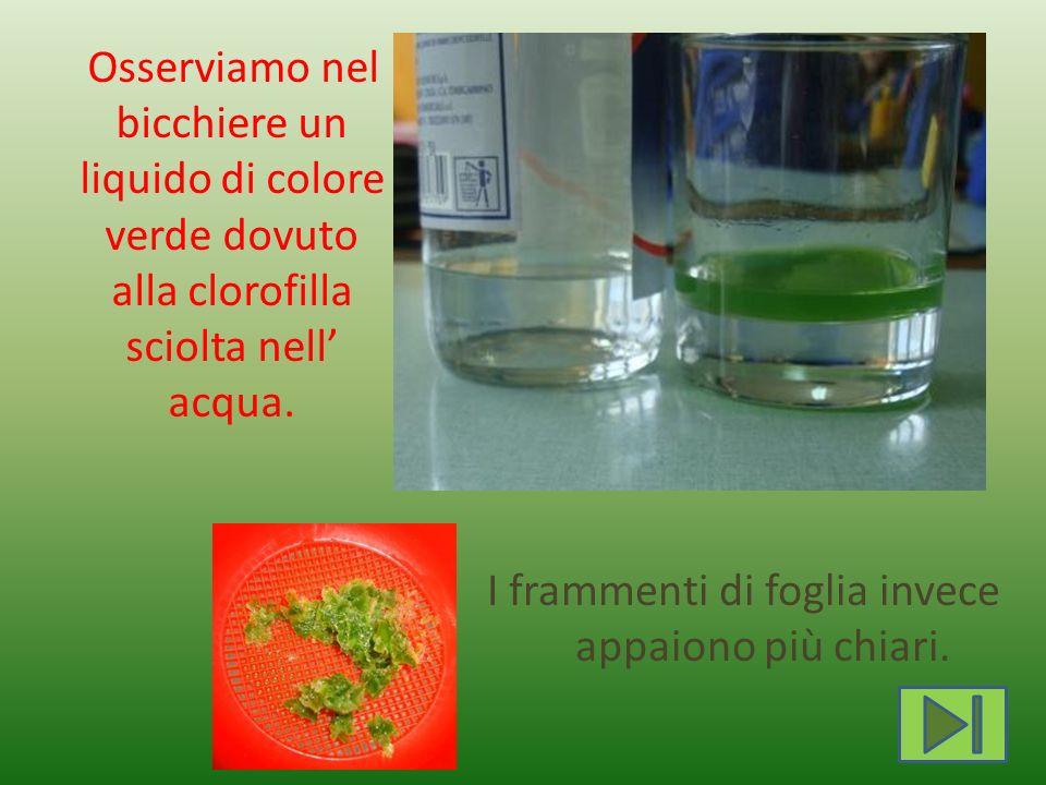 Osserviamo nel bicchiere un liquido di colore verde dovuto alla clorofilla sciolta nell acqua. I frammenti di foglia invece appaiono più chiari.
