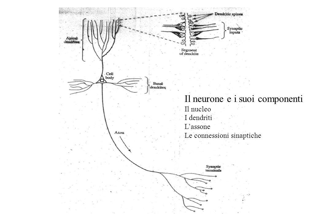 Il neurone e i suoi componenti Il nucleo I dendriti Lassone Le connessioni sinaptiche