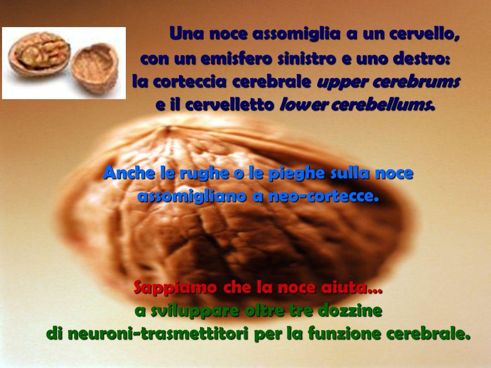 Una noce assomiglia a un cervello, Una noce assomiglia a un cervello, con un emisfero sinistro e uno destro: la corteccia cerebrale upper cerebrums e il cervelletto lower cerebellums.