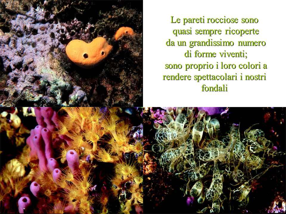 per prelevare i datteri di mare bisogna smantellare le rocce: i datterari sono subacquei che con vari mezzi frantumano le rocce per estrarne i molluschi per prelevare i datteri di mare bisogna smantellare le rocce: i datterari sono subacquei che con vari mezzi frantumano le rocce per estrarne i molluschi questo comporta la distruzione di tutte le forme viventi che si trovano sulla superficie dello scoglio questo comporta la distruzione di tutte le forme viventi che si trovano sulla superficie dello scoglio
