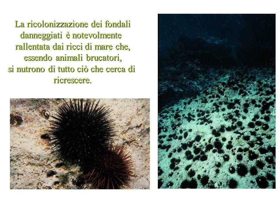 La ricolonizzazione dei fondali danneggiati è notevolmente rallentata dai ricci di mare che, essendo animali brucatori, si nutrono di tutto ciò che cerca di ricrescere.