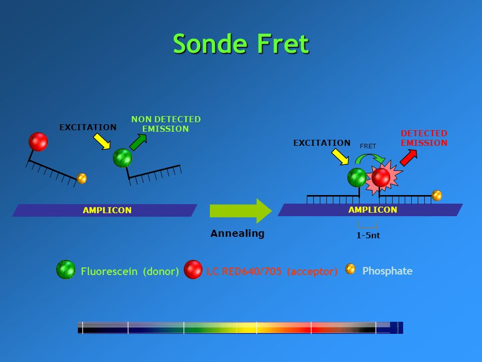Fluorescein (donor)LC RED640/705 (acceptor) Phosphate AMPLICON EXCITATION NON DETECTED EMISSION EXCITATION FRET DETECTED EMISSION Annealing 1-5nt AMPL