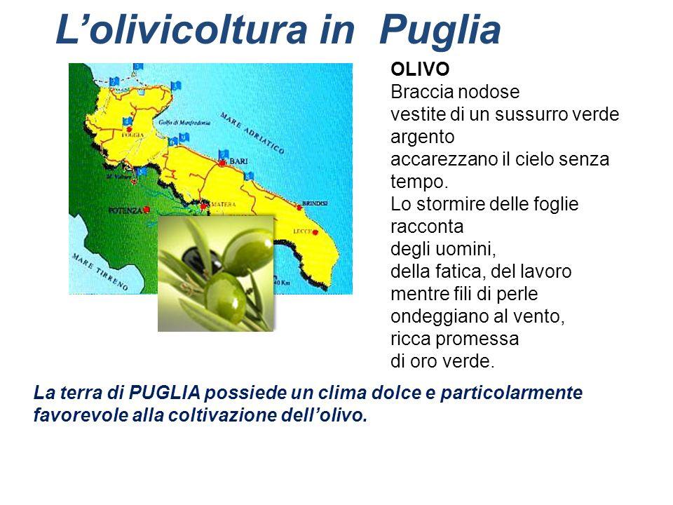 Lolivicoltura in Puglia La terra di PUGLIA possiede un clima dolce e particolarmente favorevole alla coltivazione dellolivo. OLIVO Braccia nodose vest