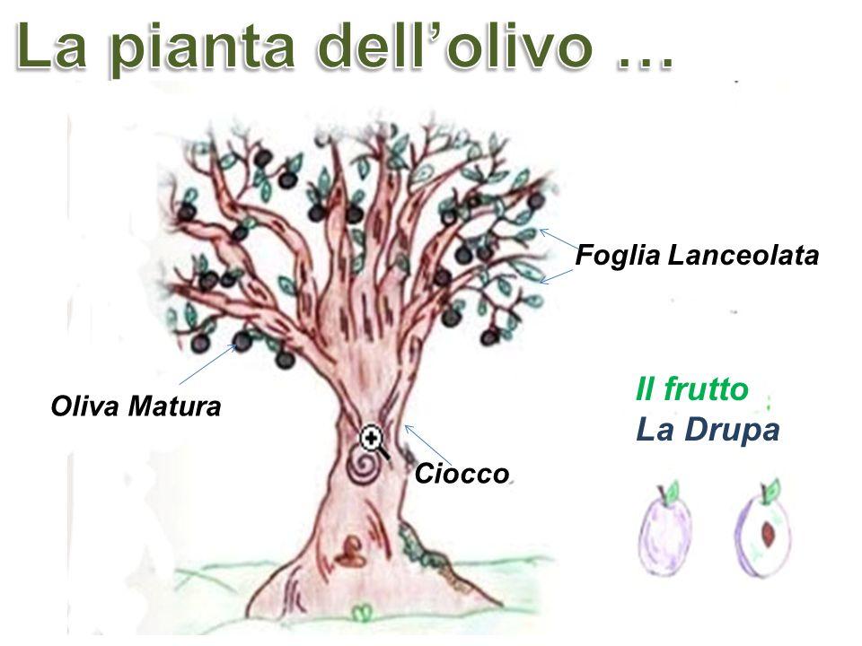 Il frutto La Drupa Ciocco Oliva Matura Foglia Lanceolata