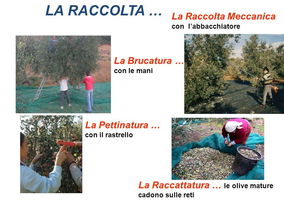 LA RACCOLTA … La Brucatura … con le mani La Raccolta Meccanica con labbacchiatore La Pettinatura … con il rastrello La Raccattatura … le olive mature