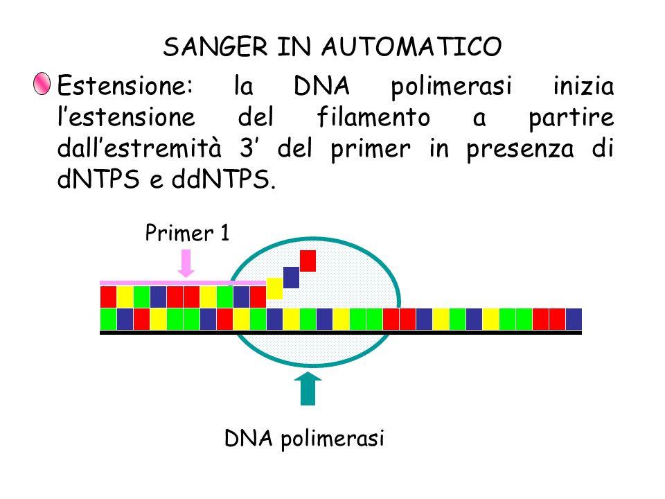 Estensione: la DNA polimerasi inizia lestensione del filamento a partire dallestremità 3 del primer in presenza di dNTPS e ddNTPS. Primer 1 DNA polime