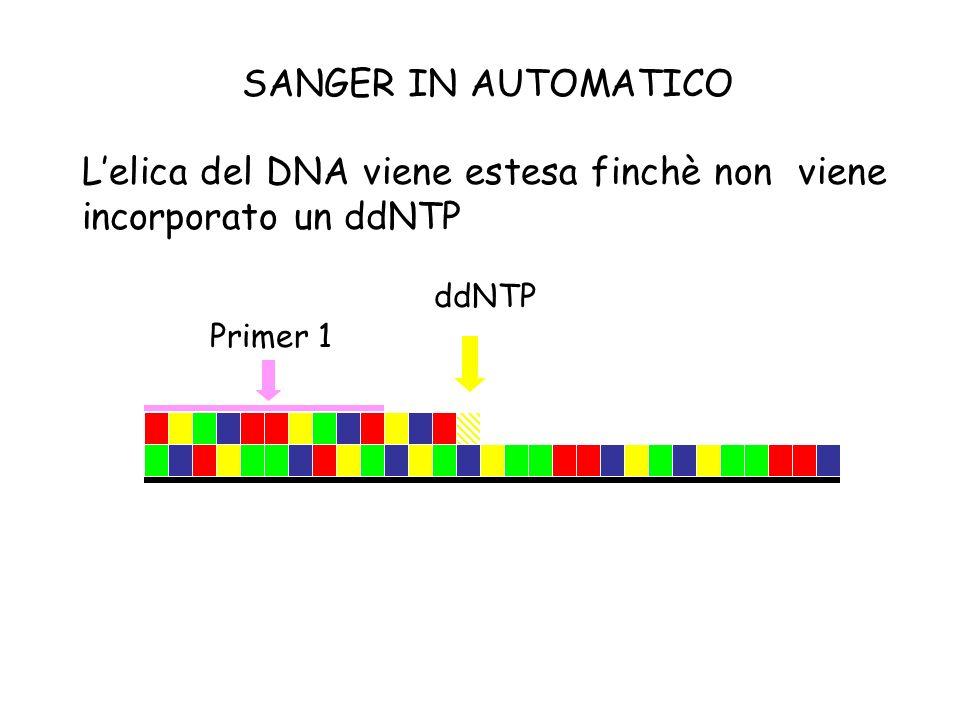 Lelica del DNA viene estesa finchè non viene incorporato un ddNTP Primer 1 ddNTP SANGER IN AUTOMATICO