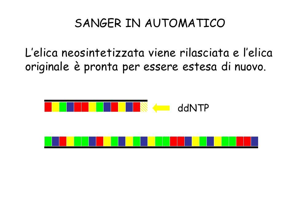 Lelica neosintetizzata viene rilasciata e lelica originale è pronta per essere estesa di nuovo. ddNTP SANGER IN AUTOMATICO