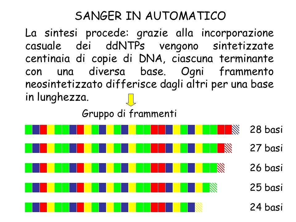 La sintesi procede: grazie alla incorporazione casuale dei ddNTPs vengono sintetizzate centinaia di copie di DNA, ciascuna terminante con una diversa