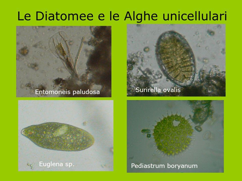 Le Diatomee e le Alghe unicellulari Entomoneis paludosa Euglena sp. Surirella ovalis Pediastrum boryanum
