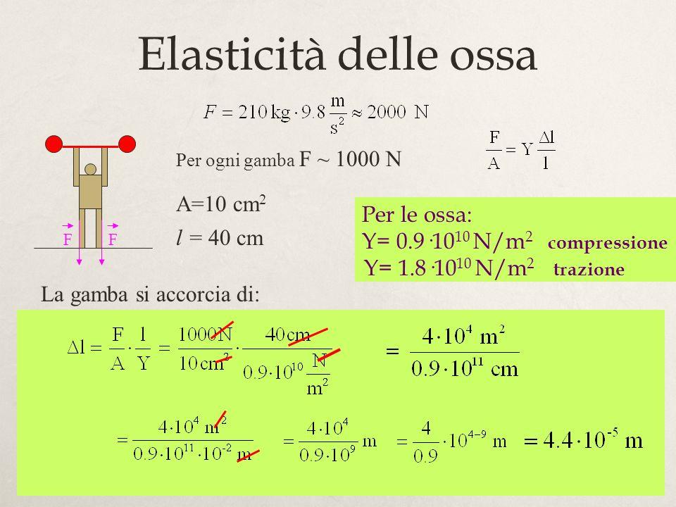 33 Per ogni gamba F ~ 1000 N A=10 cm 2 l = 40 cm Per le ossa: Y= 0.9·10 10 N/m 2 compressione Y= 1.8·10 10 N/m 2 trazione La gamba si accorcia di: Ela