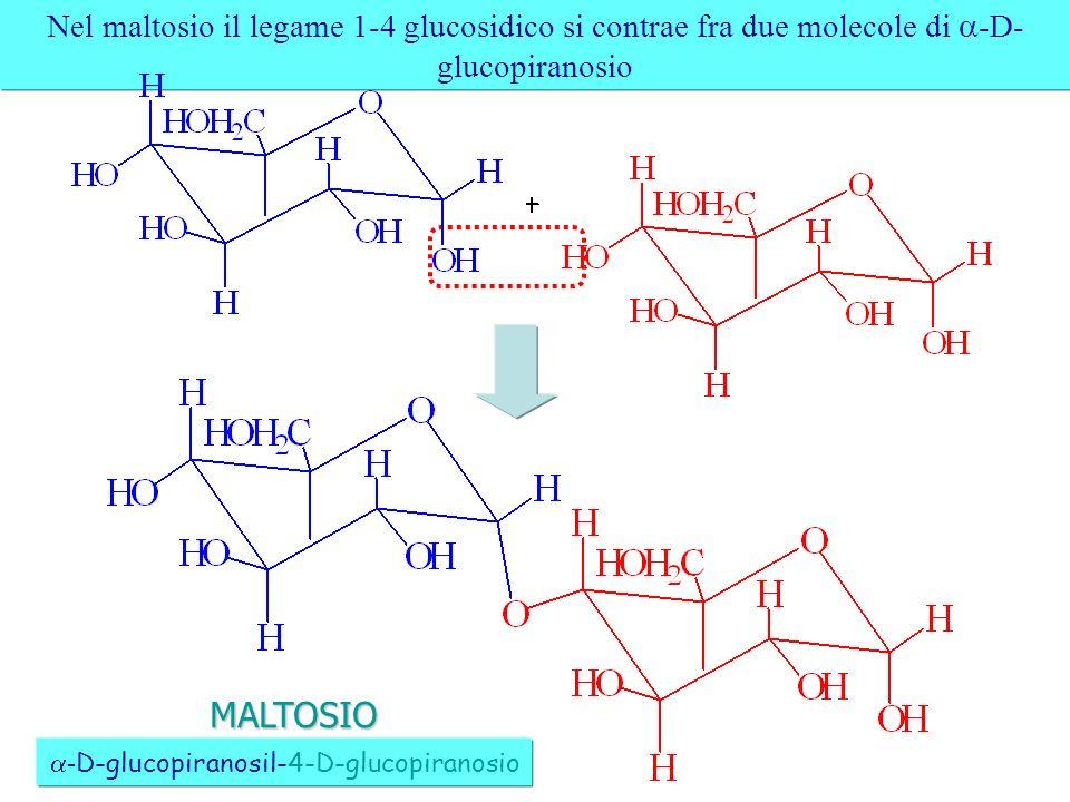 Nel maltosio il legame 1-4 glucosidico si contrae fra due molecole di -D- glucopiranosio - D-glucopiranosil-4-D-glucopiranosio MALTOSIO