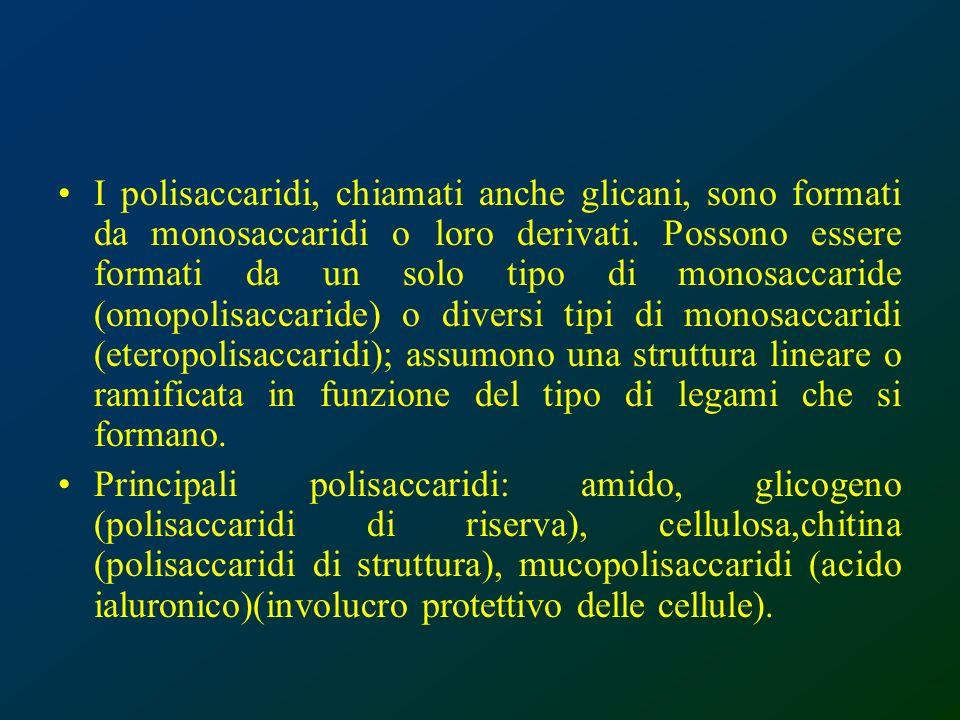 I polisaccaridi, chiamati anche glicani, sono formati da monosaccaridi o loro derivati. Possono essere formati da un solo tipo di monosaccaride (omopo