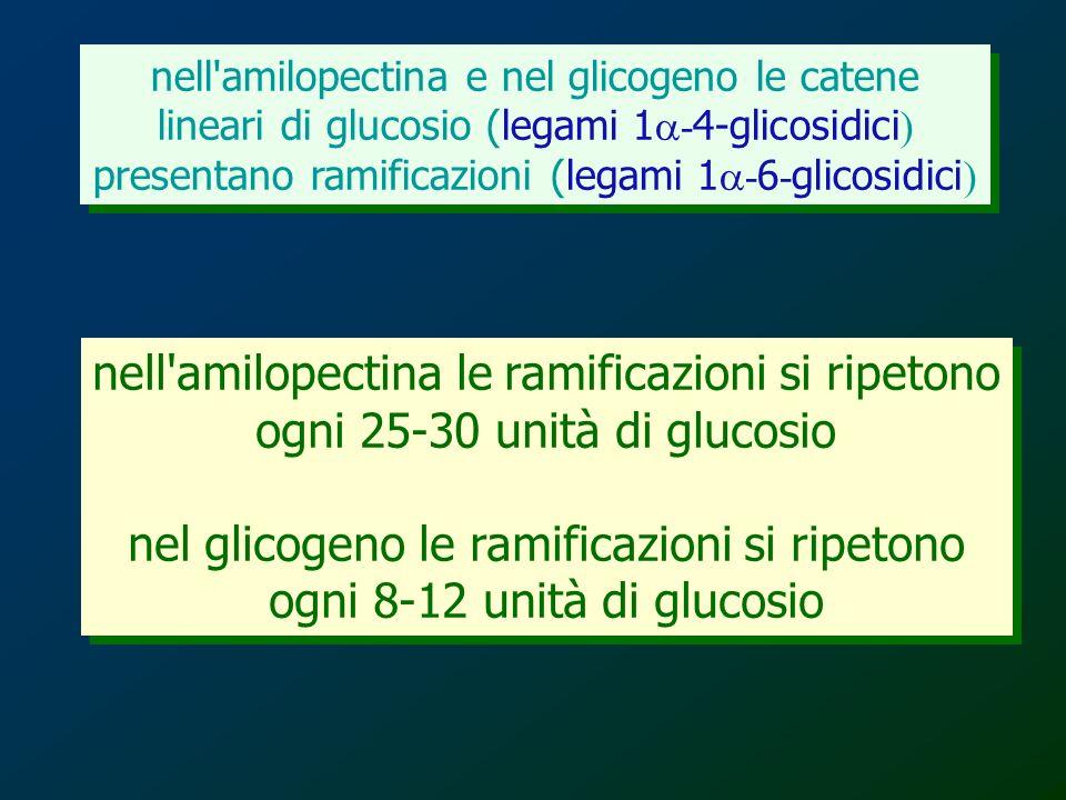 nell'amilopectina e nel glicogeno le catene lineari di glucosio (legami 1 - 4-glicosidici ) presentano ramificazioni (legami 1 - 6 - glicosidici ) nel