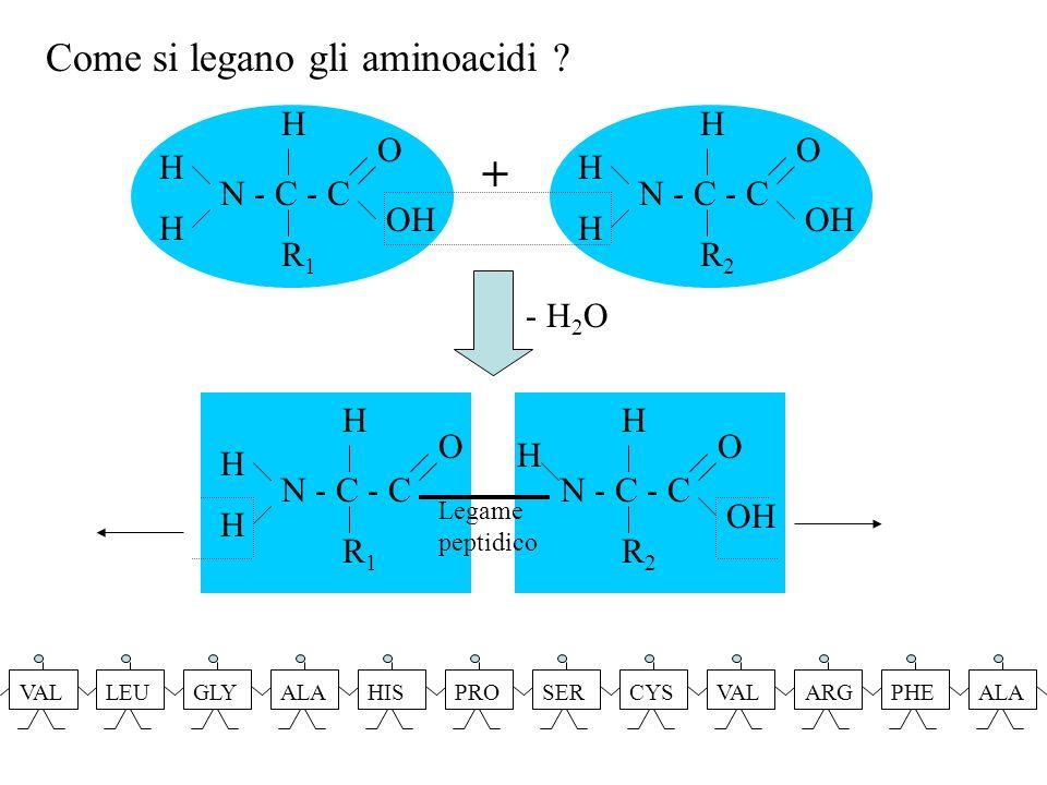 Legame peptidico N - C - C R1R1 O H H H R2R2 O OH H H - H 2 O N - C - C R2R2 O OH H H H N - C - C R1R1 O OH H H H + Come si legano gli aminoacidi ? VA