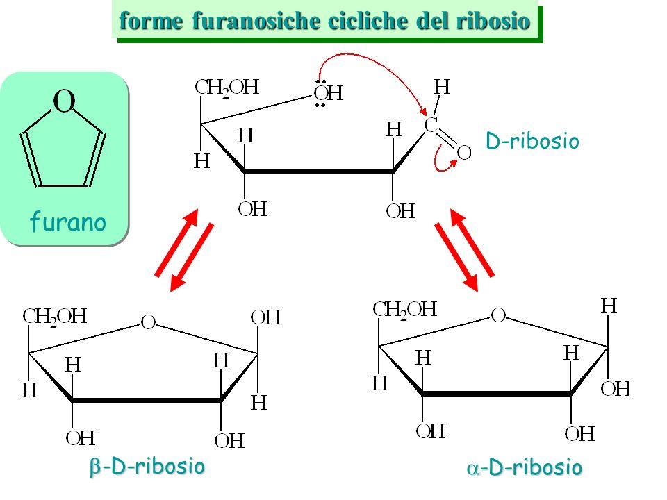 furano forme furanosiche cicliche del ribosio D-ribosio -D-ribosio -D-ribosio