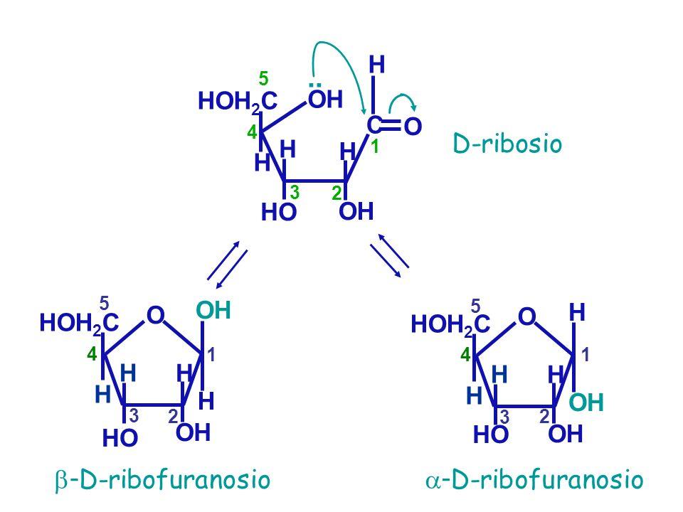 OH H HOH 2 C HO OH.. 3 4 5 H D-ribosio H H C O 1 2 - D-ribofuranosio H OH H HOH 2 C HO O 1 2 3 4 5 H H - D-ribofuranosio H OH H HOH 2 C HO O 1 2 3 4 5