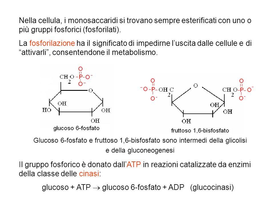 Nella cellula, i monosaccaridi si trovano sempre esterificati con uno o più gruppi fosforici (fosforilati). La fosforilazione ha il significato di imp