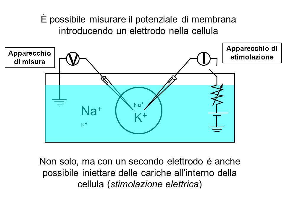 Na + K + Na + K + È possibile misurare il potenziale di membrana introducendo un elettrodo nella cellula Non solo, ma con un secondo elettrodo è anche