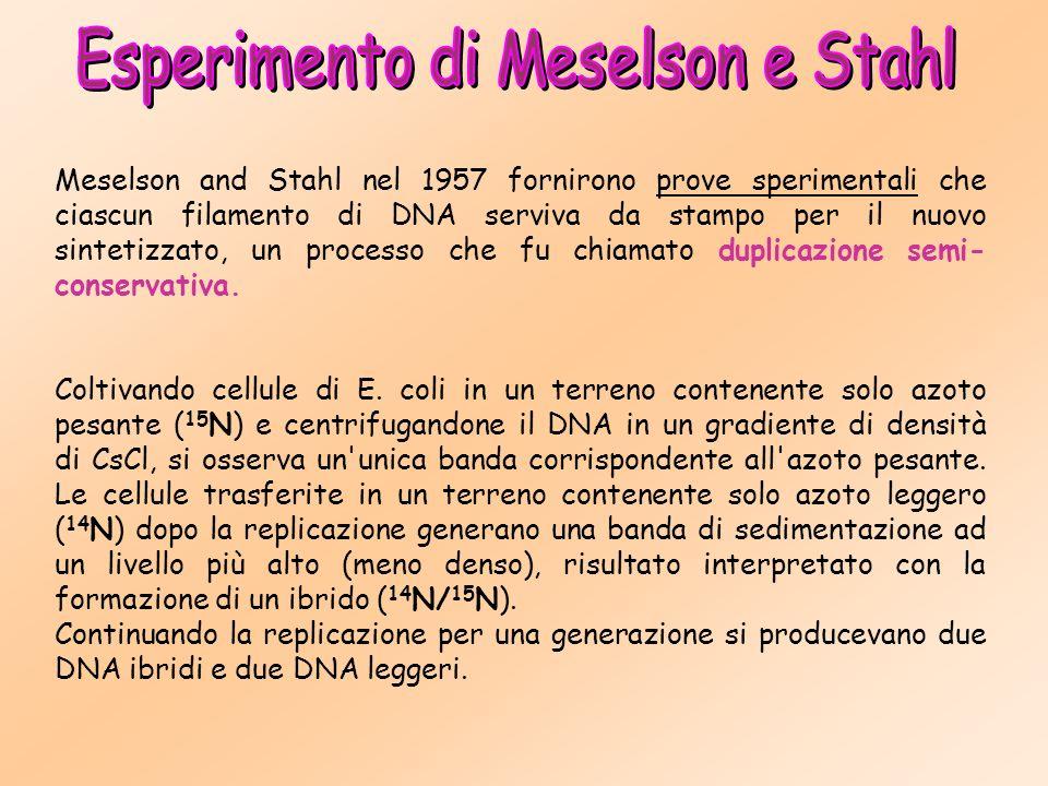 Meselson and Stahl nel 1957 fornirono prove sperimentali che ciascun filamento di DNA serviva da stampo per il nuovo sintetizzato, un processo che fu chiamato duplicazione semi- conservativa.