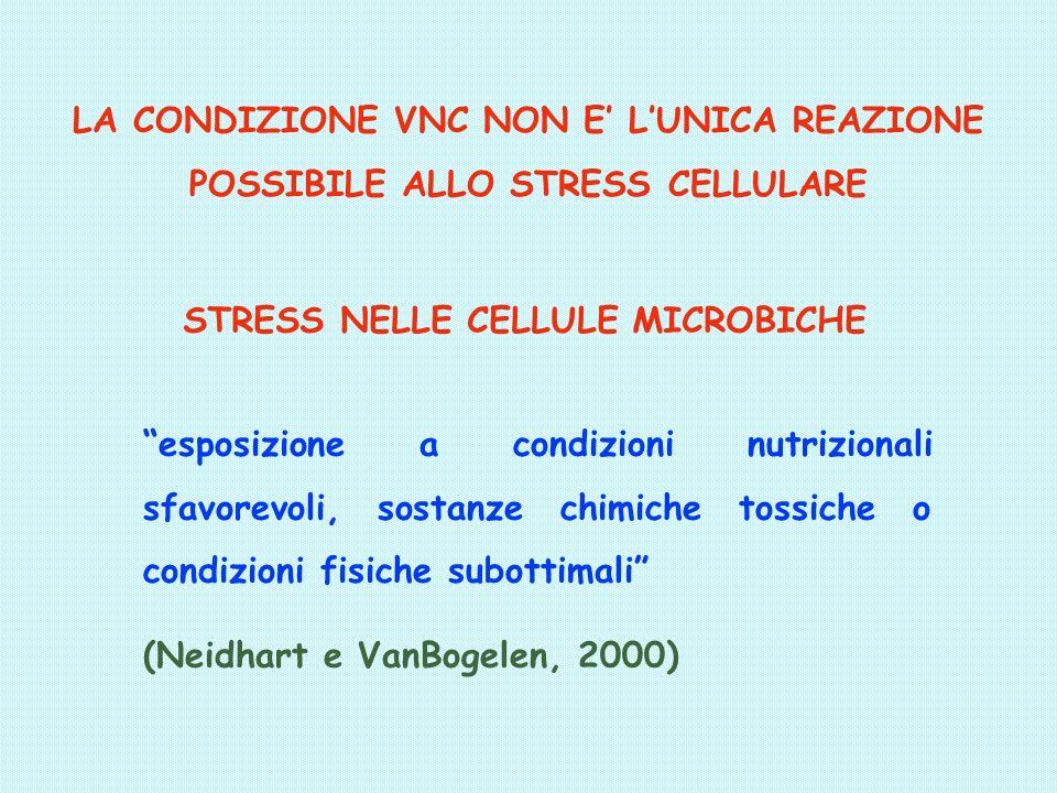 LA CONDIZIONE VNC NON E LUNICA REAZIONE POSSIBILE ALLO STRESS CELLULARE esposizione a condizioni nutrizionali sfavorevoli, sostanze chimiche tossiche o condizioni fisiche subottimali (Neidhart e VanBogelen, 2000) STRESS NELLE CELLULE MICROBICHE