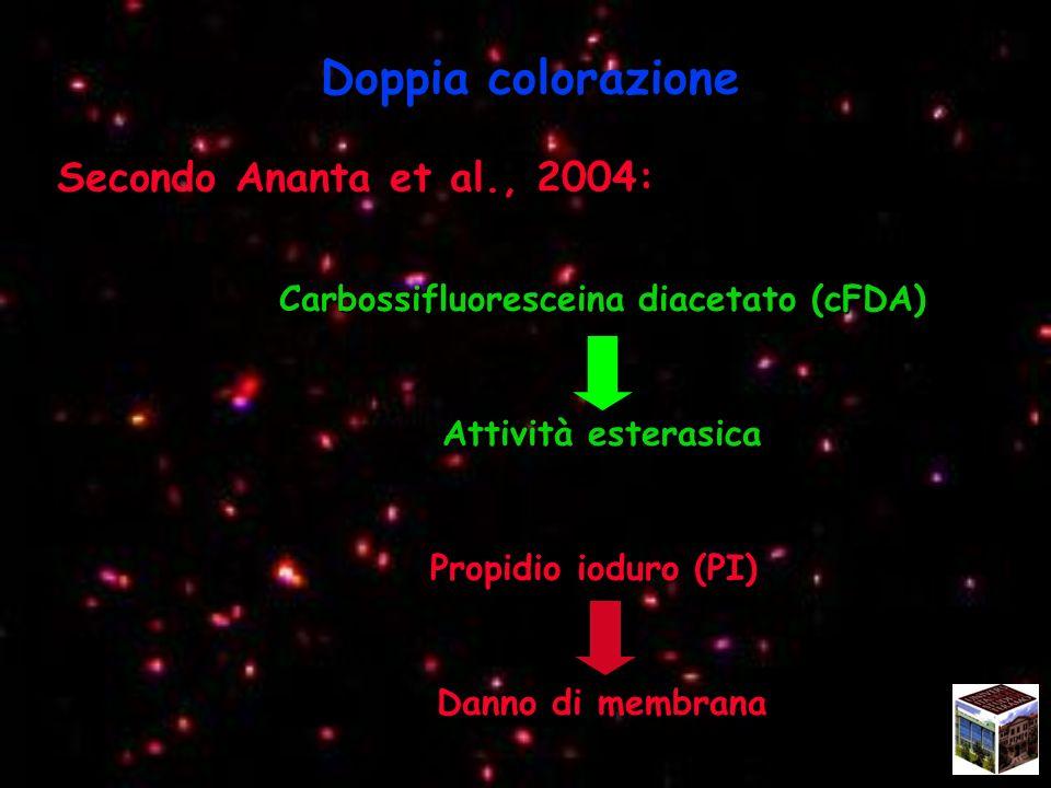 Doppia colorazione Secondo Ananta et al., 2004: Carbossifluoresceina diacetato (cFDA) Attività esterasica Propidio ioduro (PI) Propidio ioduro (PI) Danno di membrana