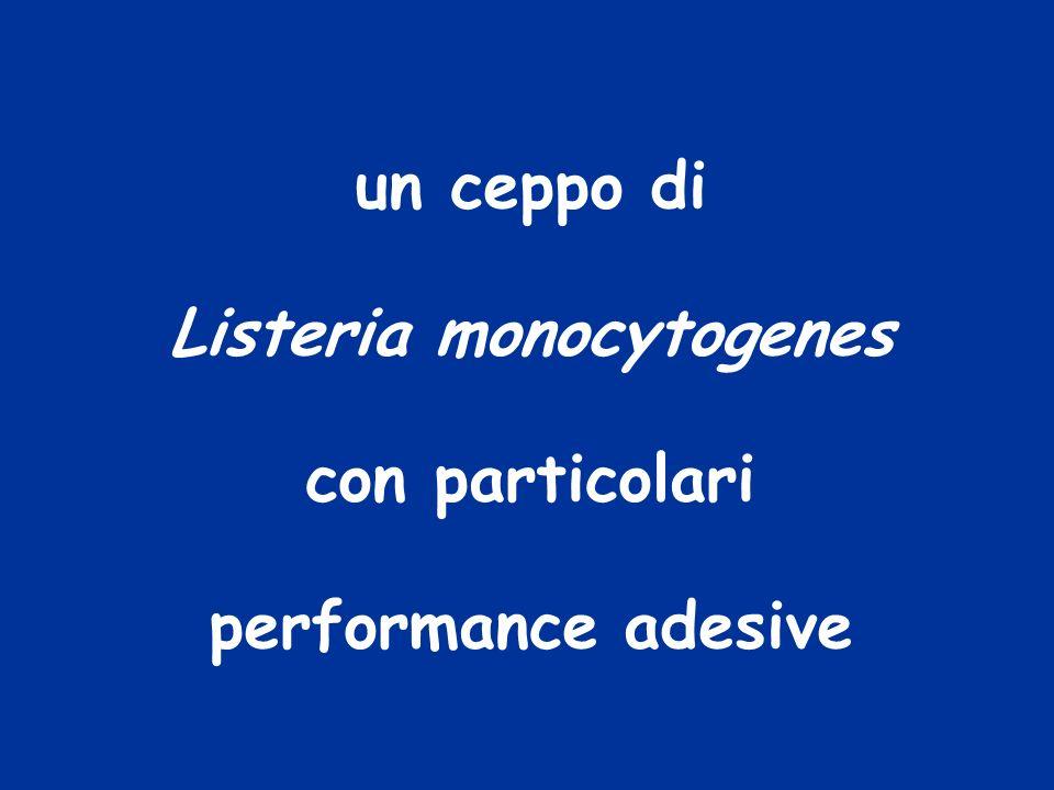 un ceppo di Listeria monocytogenes con particolari performance adesive