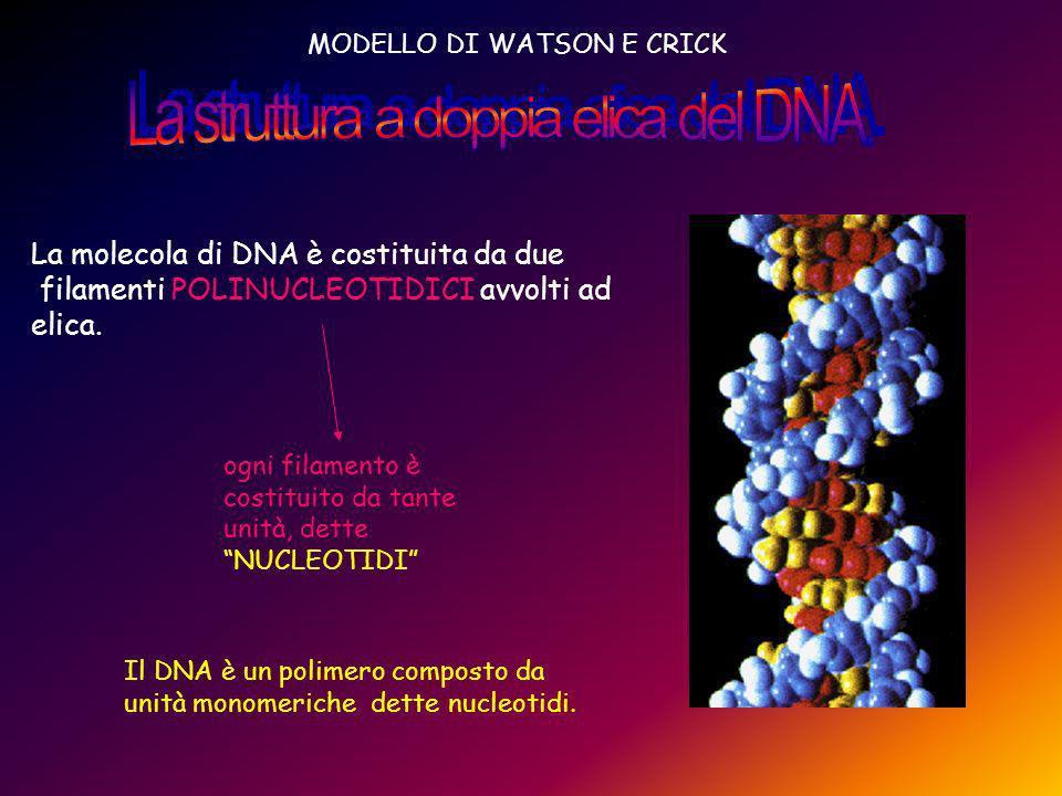 MODELLO DI WATSON E CRICK La molecola di DNA è costituita da due filamenti POLINUCLEOTIDICI avvolti ad elica. ogni filamento è costituito da tante uni