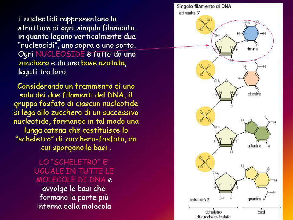 Considerando un frammento di uno solo dei due filamenti del DNA, il gruppo fosfato di ciascun nucleotide si lega allo zucchero di un successivo nucleotide, formando in tal modo una lunga catena che costituisce lo scheletro di zucchero-fosfato, da cui sporgono le basi.