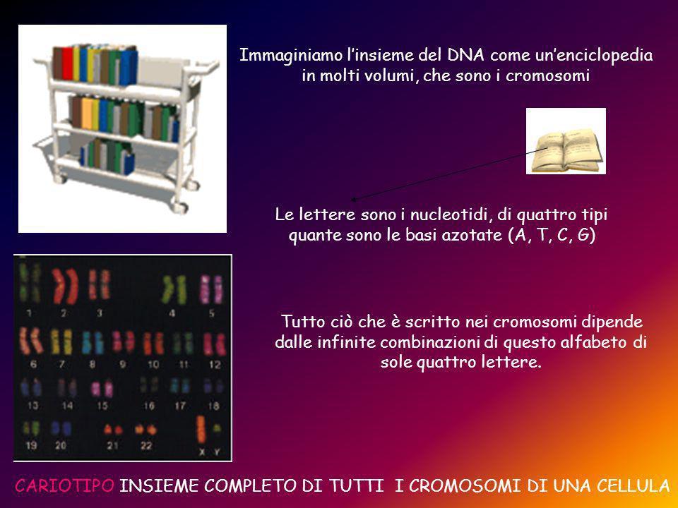 Immaginiamo linsieme del DNA come unenciclopedia in molti volumi, che sono i cromosomi Le lettere sono i nucleotidi, di quattro tipi quante sono le basi azotate (A, T, C, G) Tutto ciò che è scritto nei cromosomi dipende dalle infinite combinazioni di questo alfabeto di sole quattro lettere.