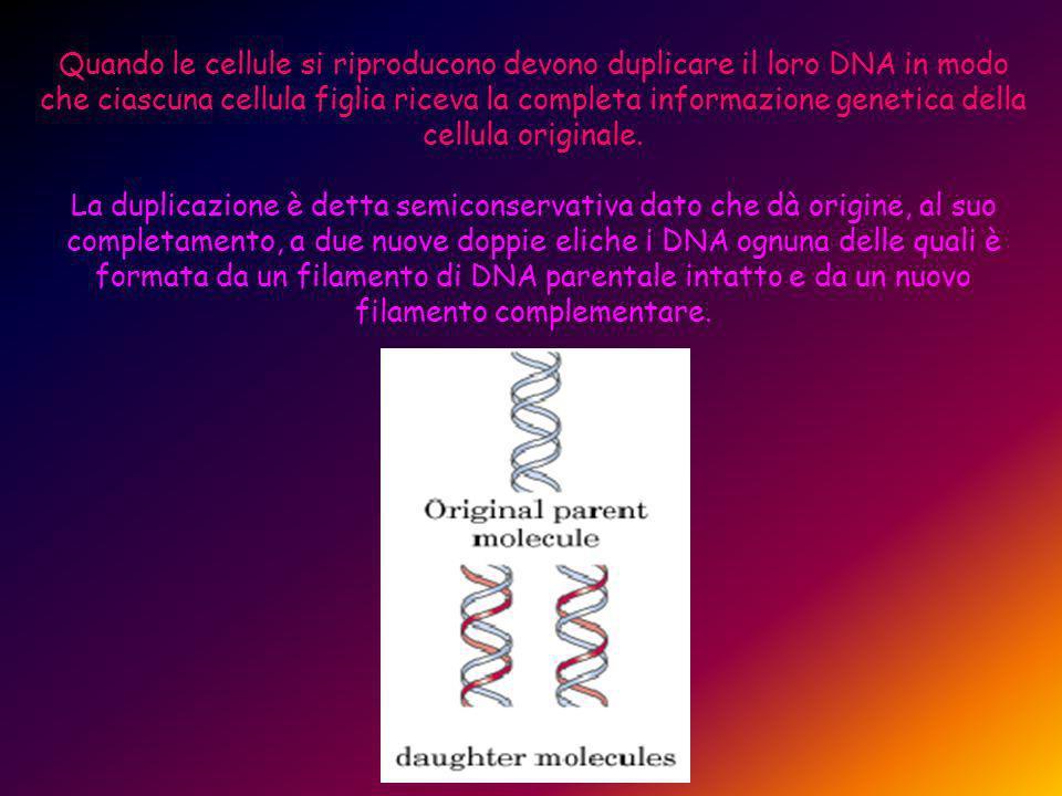 Quando le cellule si riproducono devono duplicare il loro DNA in modo che ciascuna cellula figlia riceva la completa informazione genetica della cellula originale.