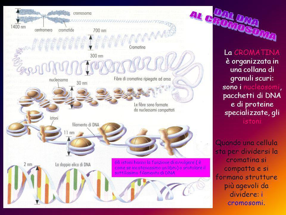 La CROMATINA è organizzata in una collana di granuli scuri: sono i nucleosomi, pacchetti di DNA e di proteine specializzate, gli istoni Quando una cellula sta per dividersi la cromatina si compatta e si formano strutture più agevoli da dividere: i cromosomi.