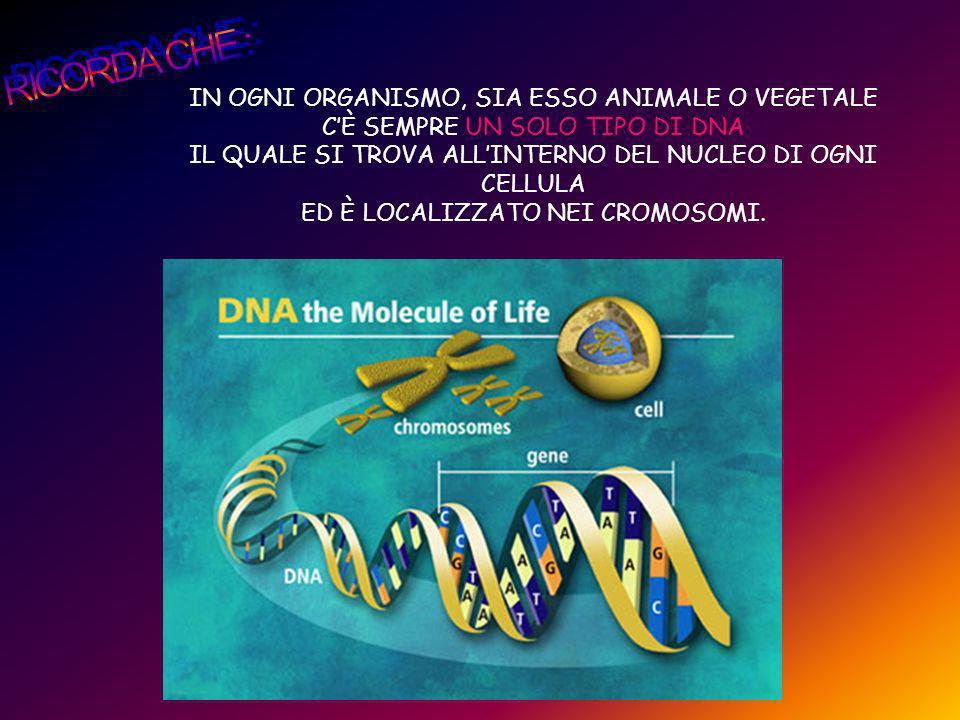 IN OGNI ORGANISMO, SIA ESSO ANIMALE O VEGETALE CÈ SEMPRE UN SOLO TIPO DI DNA IL QUALE SI TROVA ALLINTERNO DEL NUCLEO DI OGNI CELLULA ED È LOCALIZZATO
