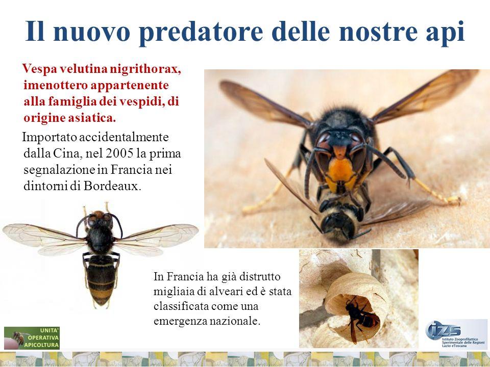 Il nuovo predatore delle nostre api Vespa velutina nigrithorax, imenottero appartenente alla famiglia dei vespidi, di origine asiatica.
