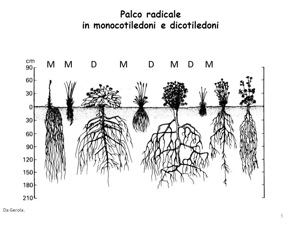 36 Dallesterno verso linterno (in sezione trasversale): 1.RIZODERMA, con funzione assorbente 2.CORTECCIA Compresa tra rizoderma e cilindro centrale Molto sviluppata rispetto a quella dei fusti aerei Tessuti parenchimatici (talora anche sclerenchimatici in certe Monocotiledoni) Alla caduta del rizoderma, lo strato più esterno della corteccia si modifica e diventa ESODERMA Lultimo strato della corteccia è ENDODERMIDE 3.CILINDRO CENTRALE o STELE Deriva dal protomidollo e dal procambio Meno voluminoso del cilindro corticale (corteccia)