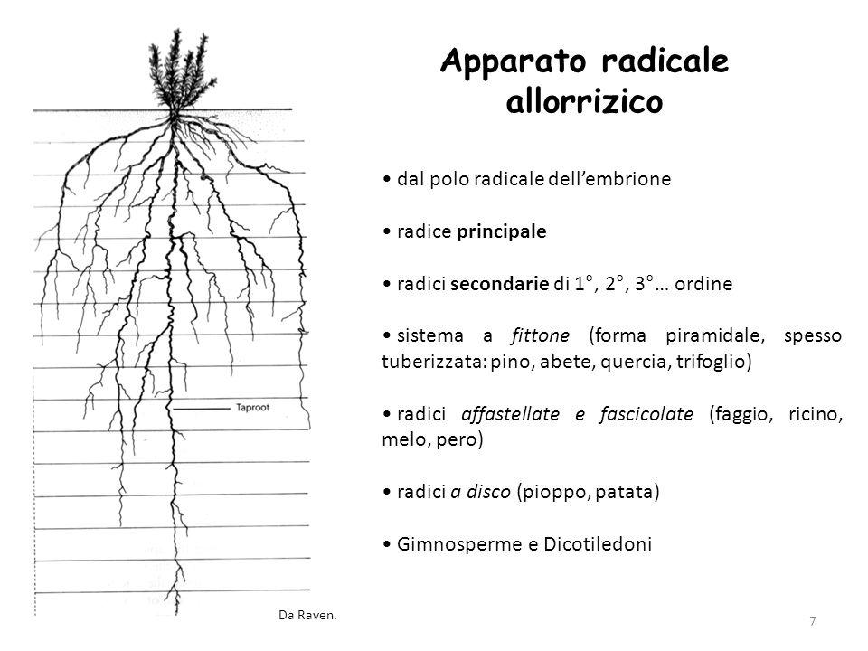 8 Apparato radicale omorrizico morte della radice principale formazione di radici avventizie caulinari sistema fascicolato o fibroso Monocotiledoni e Dicotiledoni acquatiche Da Raven.
