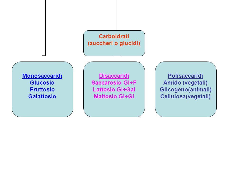 Carboidrati (zuccheri o glucidi) Monosaccaridi Glucosio Fruttosio Galattosio Disaccaridi Saccarosio Gl+F Lattosio Gl+Gal Maltosio Gl+Gl Polisaccaridi