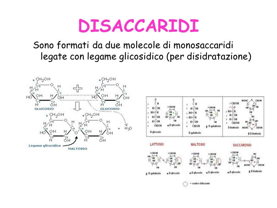 DISACCARIDI Sono formati da due molecole di monosaccaridi legate con legame glicosidico (per disidratazione)